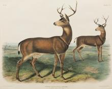 "John James Audubon, ""Columbian Black-tailed Deer"", lithograph, 1845 painting for sale"