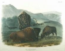 "John James Audubon, ""Bos Americanus (American Bison or Buffalo)"", lithograph, 1845"