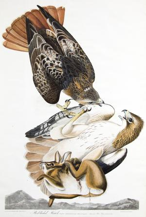 """John James Audubon original vintage print for sale, """"Red Tail Hawk"""", Plate 51 from The Birds of America, hand-colored, aquatint, engraving, 1827-1839"""